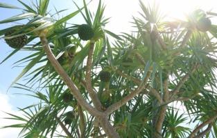 沖縄 宮古島 パイナップルの木